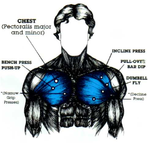 Chest Muscles, Chest Muscle Diagram - Muscleblitz.com