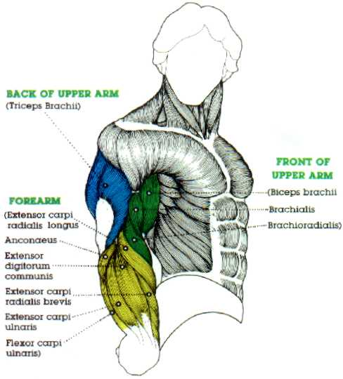 arm muscle diagram